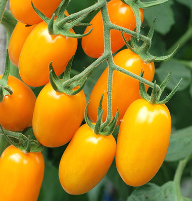how to grow sweet tomatoes